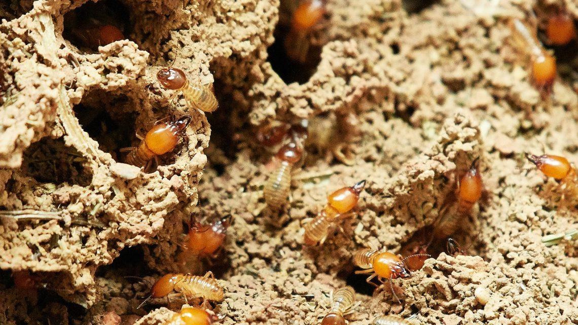 Des méthodes naturelles pour éliminer les termites